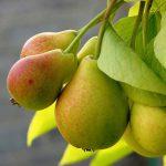 Лучшие сорта груш для Подмосковья