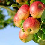 Какие сорта яблок лучше сажать
